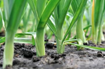 organically cultivated leek plantation
