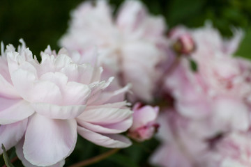 Dreamy, pastel pink peony blossoms fully blooming
