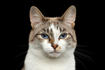 Closeup Portrait of calm face White Cat, Red nose, offended looks Blue Eyes Isolated Black Background, Front view
