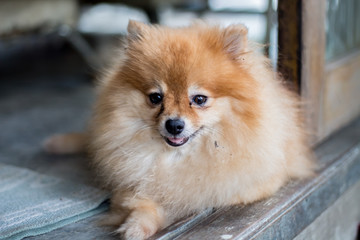 Orange pomeranian dog smile and sitting at outdoor.