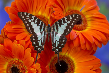 The Large Striped Swordtail Butterfly, Graphium antheus
