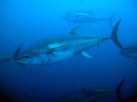 Yellowfin tuna swimming in deep water
