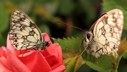 Dwa motyle, polowiec szachownica, Melanargia galathea
