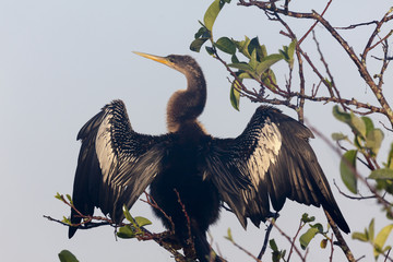 USA, Florida, Everglades National Park. An anhinga in tree drying its feathers. Credit as: Wendy Kaveney / Jaynes Gallery / DanitaDelimont.com