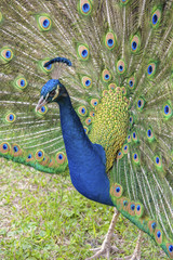 USA, Florida, Orlando, male peacock, Gatorland.