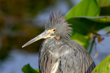 USA, Florida, Boca Raton, Wakodahatchee Wetlands, Tricolored heron sitting in pickerell weed, Egretta tricolor