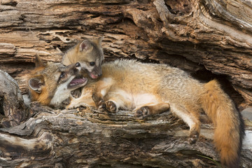 USA, Minnesota, Sandstone, Minnesota Wildlife Connection.   Grey fox mother and pup in a hollow log. Credit as: Wendy Kaveney / Jaynes Gallery / DanitaDelimont.com