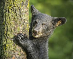 USA, Minnesota, Sandstone, Minnesota Wildlife Connection. Close-up of black bear cub climbing a tree.