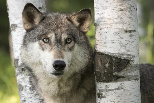 USA, Minnesota, Sandstone, Minnesota Wildlife Connection. Close-up of gray wolf between birch trees.