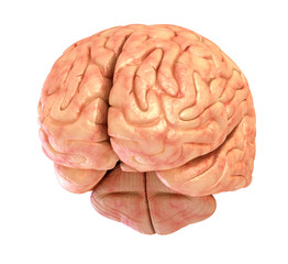 Human brain 3D model, isolated on white