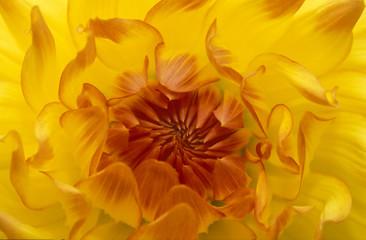 USA, Oregon, Shore Acres Gardens, Close-up of yellow dahlia backlight.