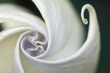 USA, Pennsylvania. Datura flower close-up. Credit as: Nancy Rotenberg / Jaynes Gallery / Danita Delimont.com