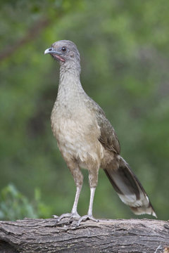 Chachalaca (Ortalis vetual) in south Texas