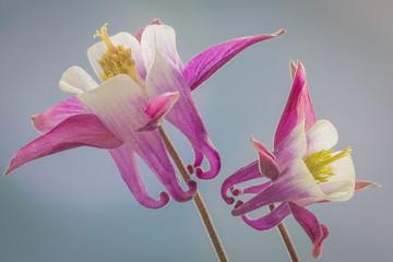 USA, Washington, Seabeck. Close-up of columbine flowers. Credit as: Don Paulson / Jaynes Gallery / DanitaDelimont.com