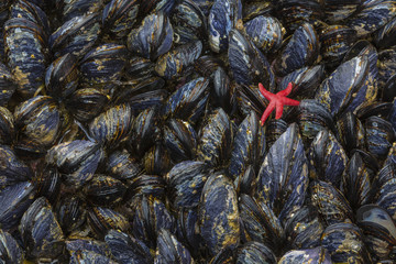 USA, Washington. Mussels and red sea star in Salt Creek Recreation Area.