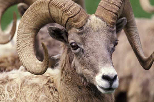 N.A., USA, Washington, Northwest Trek wildlife park, Eatonville. Bighorn sheep (Ovis candensis).