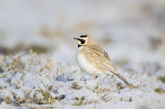 USA, Wyoming, Sublette County, Horned Lark sitting in snow on early spring morning
