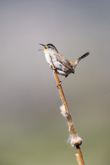 USA, Wyoming, Sublette County, Marsh Wren singing on cattail stalk