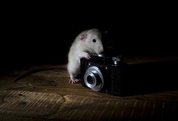 Rat - photographer.
