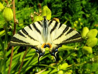 Farfalla in giardino