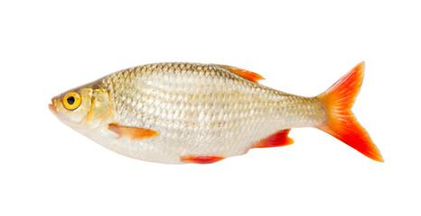 Fish rudd isolated on white background