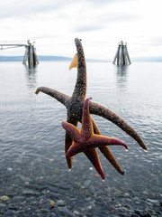 Duo starfishes catched in Homer