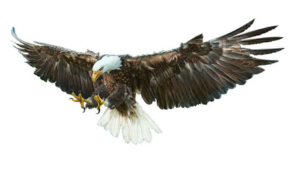 Bald eagle bird winged flying swoop hand draw and paint on white background vector illustration.
