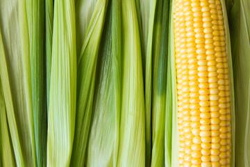 Ripe corn grains on cob and green leaves. Closeup. Copyspace