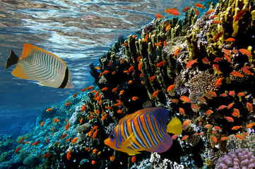 Aluminium Prints Under water Coral reef with fire coral and exotic fishes at the bottom of co