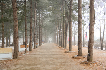 Row of pine trees in winter of Nami island