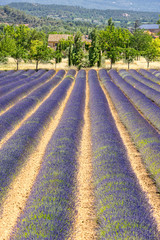Lavender field in the Luberon Provence