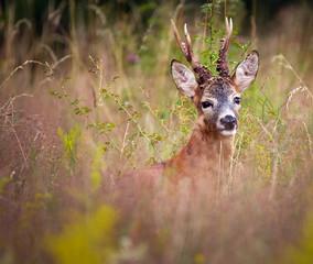 Roebuck in a grass field
