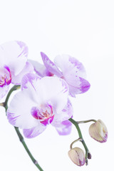 White and purple Phalaenopsis orchids and buds close-up