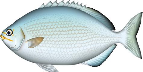 イスズミ 魚イラスト ベクター