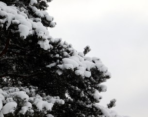 Pine covered with snow.