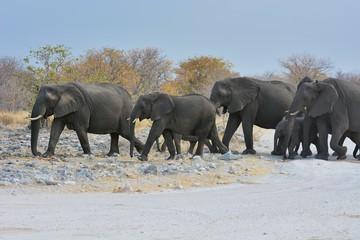 Elefantenherde (Loxodonta africana) im Etosha Nationalpark