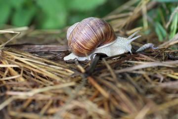 Weinbergschnecke im natürlichen Lebensraum