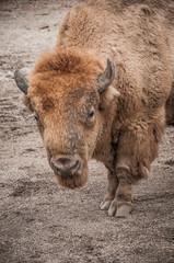 Fototapeta European bison in zoo