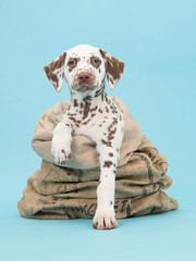 Cute brown and white dalmatian puppy facing the camera in a burlap sack on a blue background