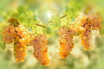 Grape riesling in vineyard - taste (flavor) and color of grape like honey Fototapete