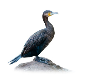Great cormorant on white