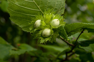 Unripe hazelnut on the branch of the tree