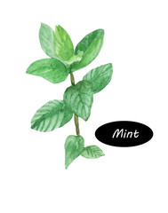 Watercolor mint plant peppermint isolated on white background