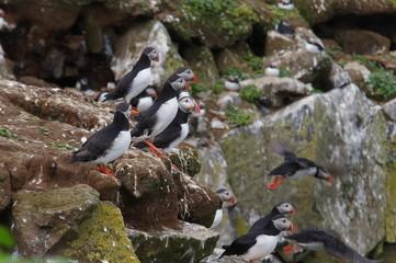 Abfliegende Papageientaucher auf Island