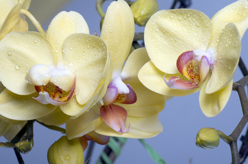 Beautiful colorful flower Orchid, phalaenopsis.