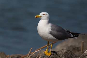 Portrait of yellow-legged gull (Larus michahellis) standing in t