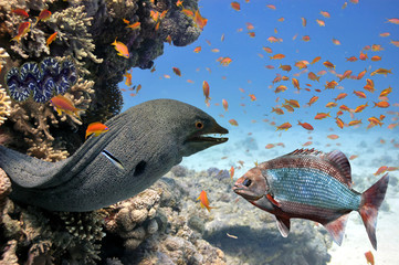 Giant moray (Gymnothorax javanicus) of Red Sea. Egypt