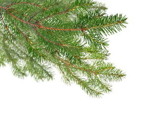 isolated fir dark green branches