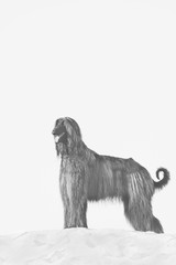 BW portrait of Afghan Hound standing in desert