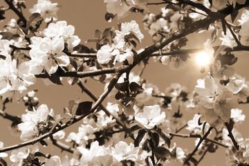Fototapete - Blüten vom Apfelbaum mit Sonnenstrahlen